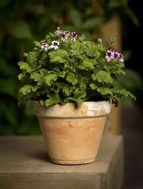 care for Sweet scented geranium.