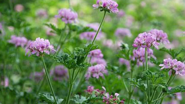 How to grow and care for Sweet scented geranium
