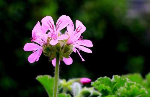 Sweet scented geranium