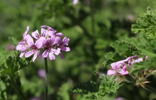 cutting propagation method of Sweet scented geranium.
