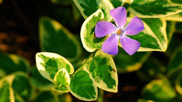 How to grow and care for bigleaf periwinkle