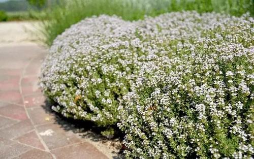 Creeping thyme care