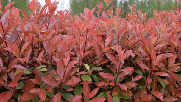 Red Tip Photinia profile