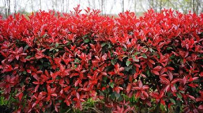 Red tip photinia care
