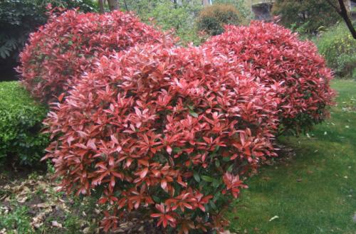 propagate Red Tip Photinia