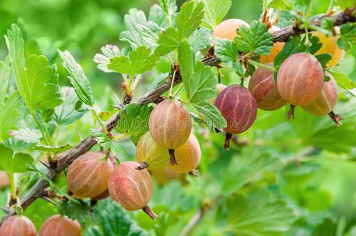 9 best berries to grow