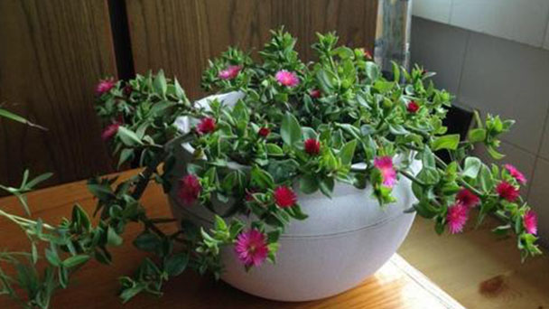 How to grow and care for Baby sun rose