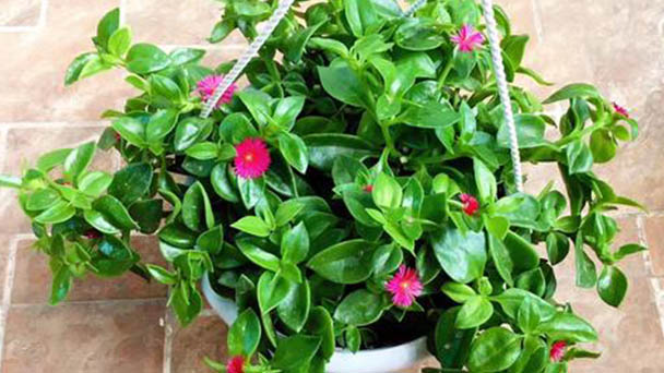 How to propagate baby sun rose