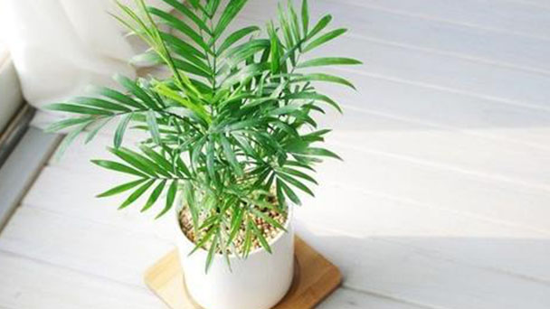 How to care for Parlour palm