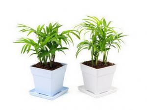 Parlor palm plant care