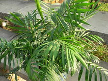 care for Parlor palm in autumn and spring