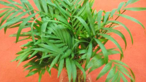Parlor palm: care and growing guide