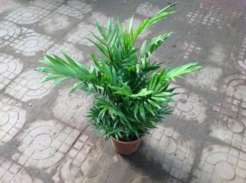 propagation methods of Parlor palm