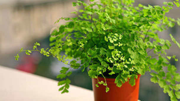How to grow and care for Southern Maidenhair fern