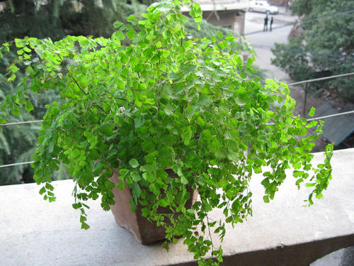 propagation methods of Southern Maidenhair fern
