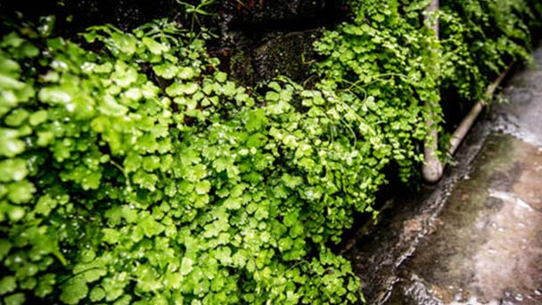 How to propagate Southern maidenhair fern