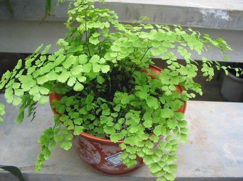 Southern maidenhair fern care