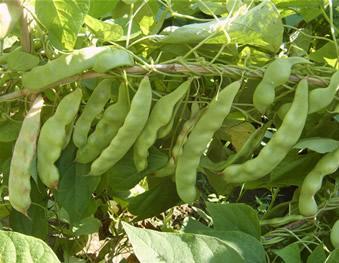 care for Yardlong bean