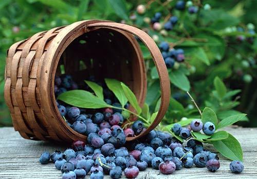 cutting propagation method of blueberry