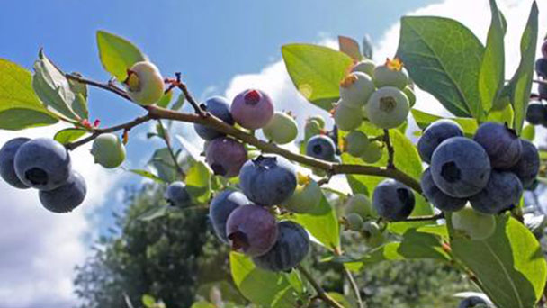 Growing Blueberry plant care