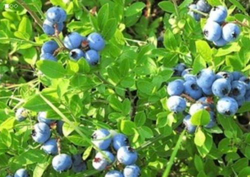 cutting propagation method of blueberry