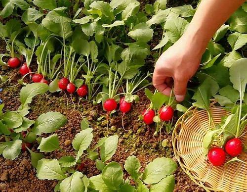 grow cultivated radish