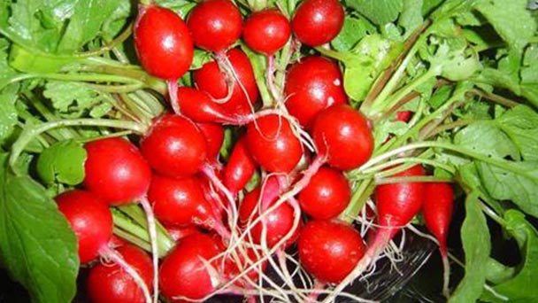How to grow cultivated radish