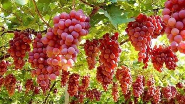 How to grow grape from seedlings