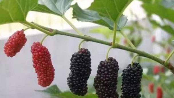 How to propagate mulberry plant