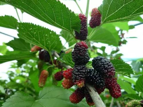 care for mulberry in the pots