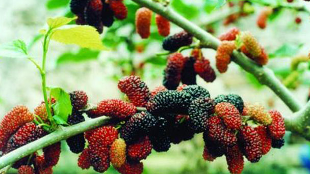 How to grow and care for mulberries in the pot