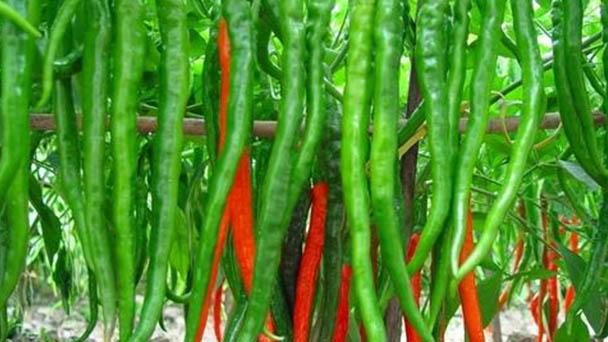 Pepper profile