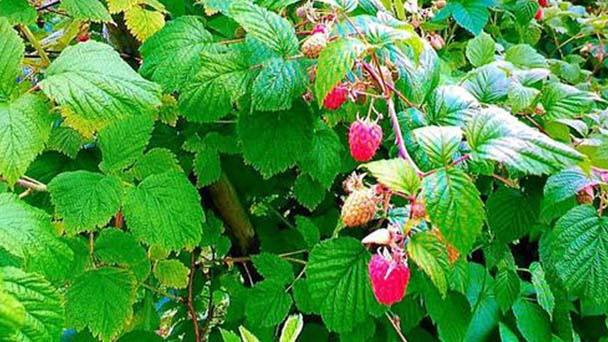 Red raspberry profile