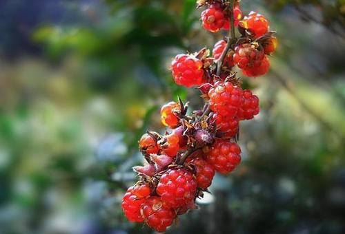 grow Red raspberries