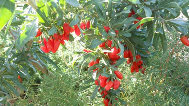 How to grow and care for Lycium Chinense