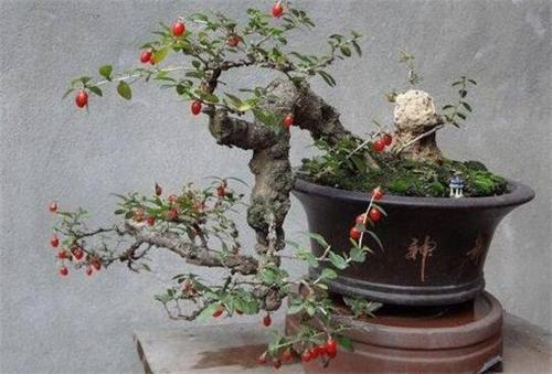 grow Lycium chinense in pots.