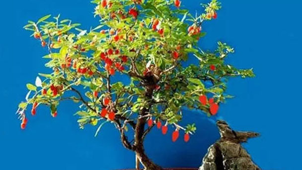 How to grow Lycium chinense