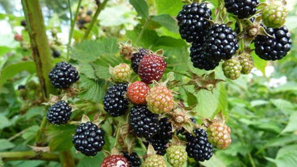 Blackberry profile