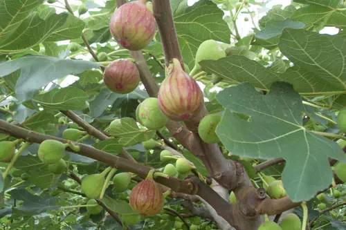 Common fig