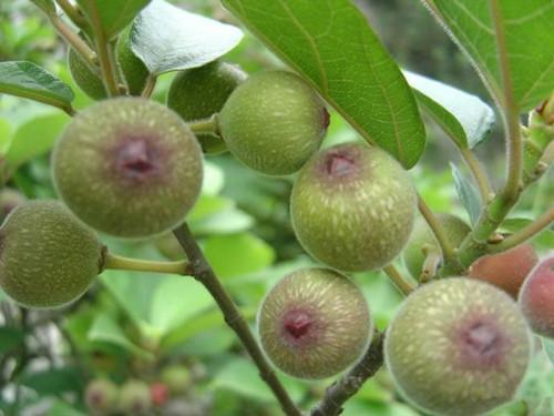 propagation methods of Common Fig