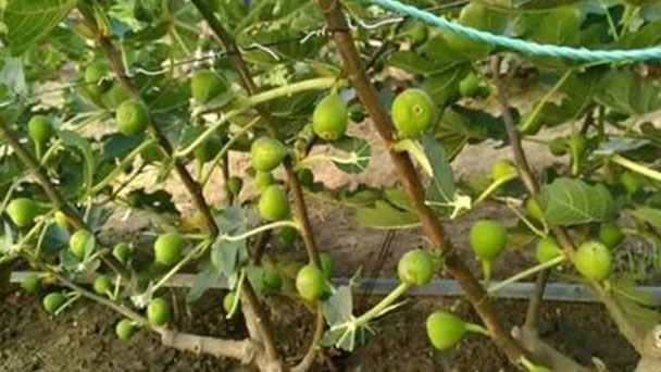 How to propagate Common fig