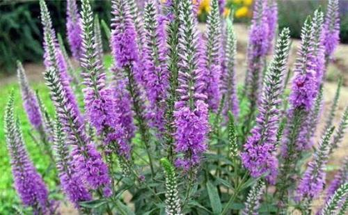 6 best perennial potted flowers for beginners