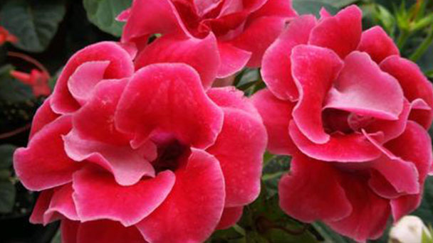 How to grow and care for Gloxinias