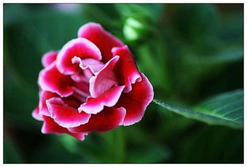Gloxinias care