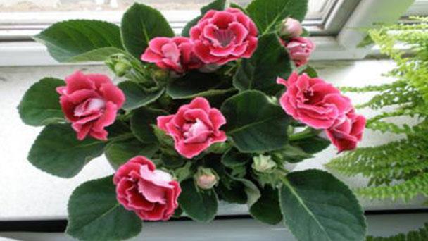 How to propagate Gloxinias