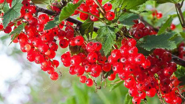 How to grow and care for redcurrant