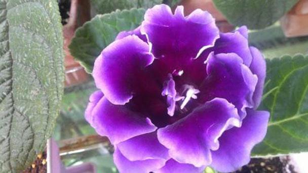 Lesser Bougainvillea plant care