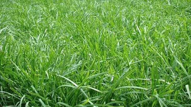 Lemongrass profile