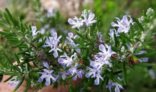 propagation methods of Rosemary