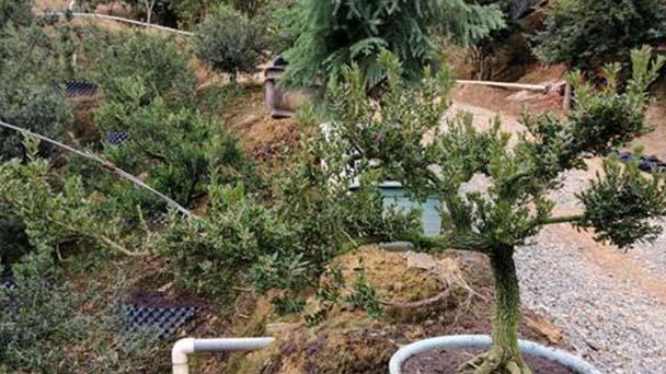 Harland boxwood plant care